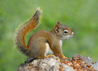 Red Squirrel Kit, Yellowstone