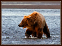 Fishing Grizzly, Lake Clark, AK