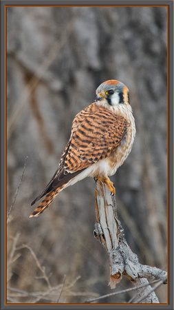 Kestrel, male