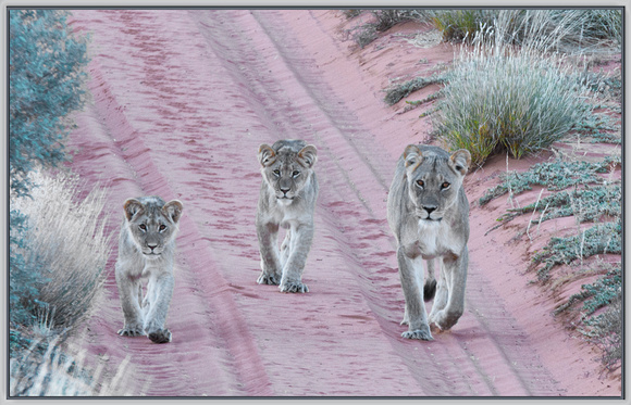 Lionness and Cubs