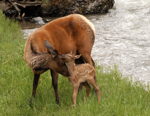 Elk and New Fawn