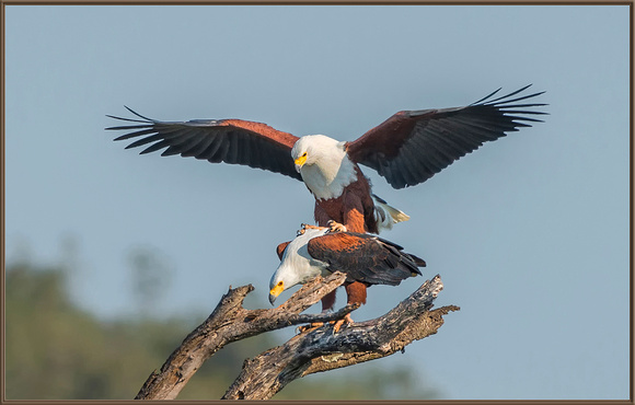 African Fish Eagles, Mating